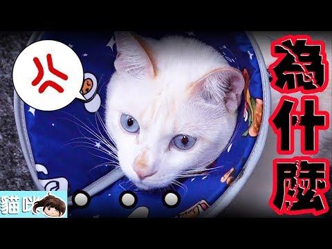 【貓日常】雪卷帶頭套了![NyoNyoTV妞妞TV玩具]