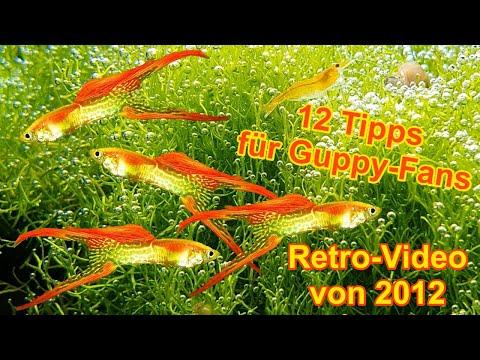 hd guppys 12 tipps f r zucht pflege haltung dokumentation aquarium fische guppy youtube. Black Bedroom Furniture Sets. Home Design Ideas