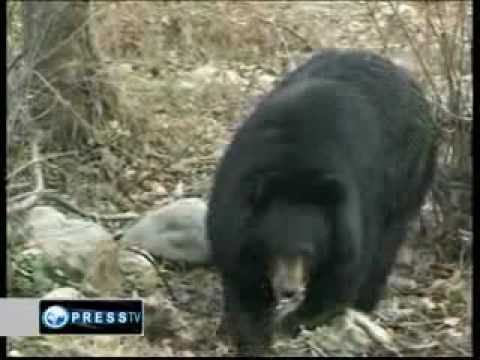 Akeel Hassan PressTV - Bear attacks cause alarm in Indian Jammu & Kashmir.wmv