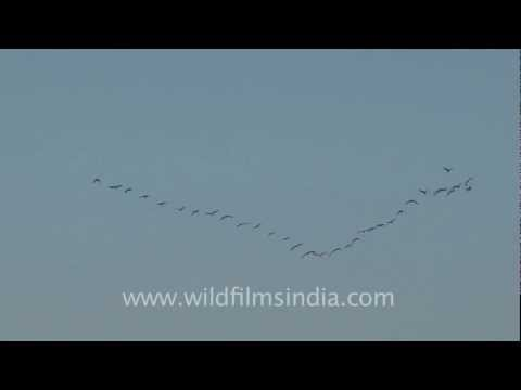 Demoiselle Cranes flying in a perfect V formation!