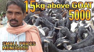 15Kg above Goat 5000 only in Munugodu |Small Market & Small prices, Bakra Mandi