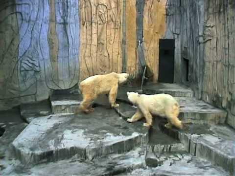 ホッキョクグマの異常行動/動物園