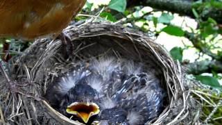 American Robin's nest (AKA Robin Red Breast), eggs, and babies