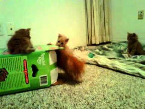 Longhair Kitten Box Play Video 8-16-2011.3gp video