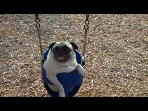 Swinging, eating, sliding, pooping, running, playing, PUGS!