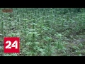Наркодилеры жестоко расправились с грибниками, нашедшими их поляну с коноплей