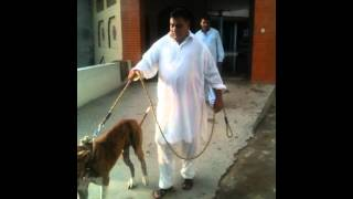 Pakistan bull dog : choudary taleb : from gujar khan Bewal: 2012