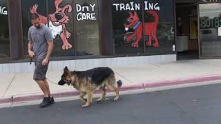 Transformations- How to Train an Aggressive German Shepherd- Utah Dog Trainers