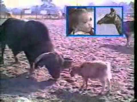 mori de ras   faze tari cu animale