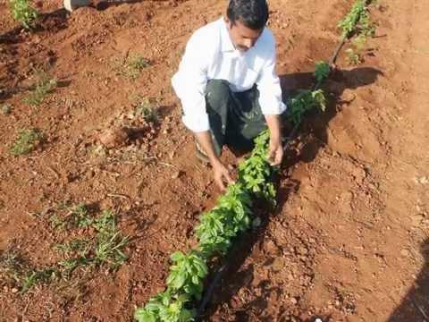 CHIA CULTIVATION IN INDIA BY FARMER SIVA SANKAR REDDY,ANANTAPUR,ANDHRAPRADESH