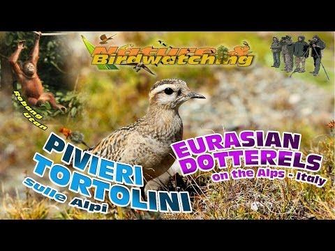 Eurasian Dotterels, a stopover on the Alps - Pivieri Tortolini, una sosta sulle Alpi