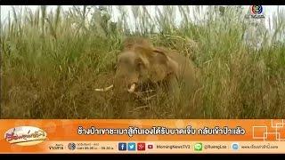 เรื่องเล่าเช้านี้ ช้างป่าเขาชะเมาสู้กันเองได้รับบาดเจ็บ กลับเข้าป่าแล้ว (01 ก.พ.59)