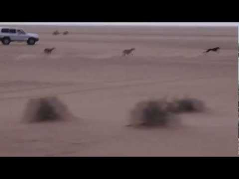 Racing dogs in Saudi Arabia.