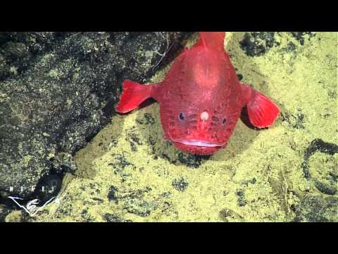 Mbari videolike for What do angler fish eat
