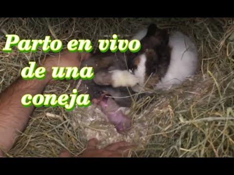 CONEJOS - El parto de una coneja (2ª parte). ¿Cómo paren las conejas?