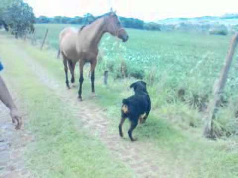 Rottweiler muito esperta puxando a égua pelo cabresto