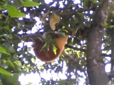 Honeybee Comb on Mango tree