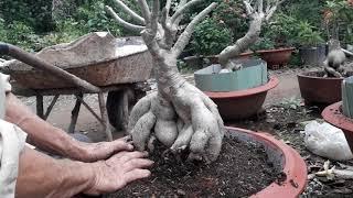 Trồng lại để nâng củ cây sứ