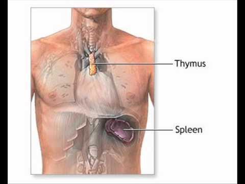 THYMUS GLAND PART 1 HEALTH EDUCATION INFECTION CONTROL immunity immune system URDU / HINDI