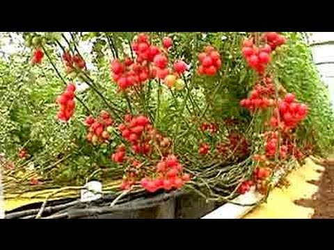 Soil-less farming: 25 kg of tomatoes per plant