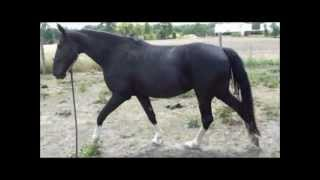 Tennessee Walking Horse Comparison