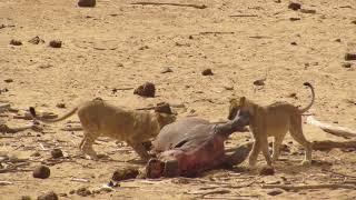 Leoni allo tsavo est mangiano ippopotamo