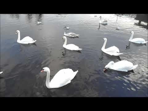 Лебеди и чайки, покормите их зимой