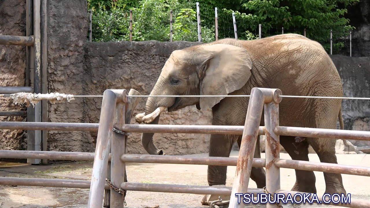 アフリカゾウの画像 p1_29