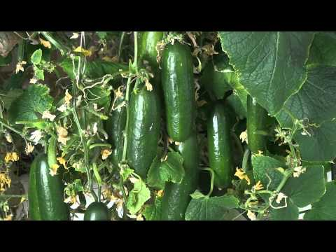 Hydroponic Cucumbers - Grown indoors with a LED grow light