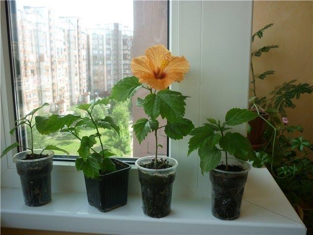 Как посадить гибискус в домашних условиях 957