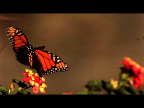 Slow motion Butterfly in flight