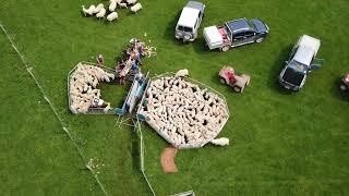 NZ sheep farming southland lambing/tailing 2017