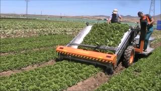 ORTOMEC 8500 - RACCOLTA INSALATA A CESPO - HARVESTING OF HEAD LETTUCE