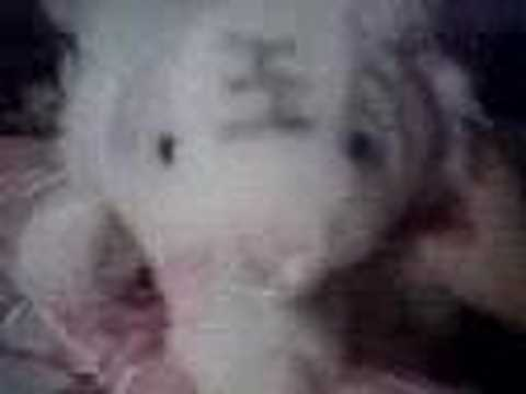 Meow Meow - The white tiger who likes to lick his paws Video