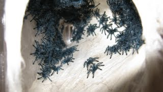 RETRIEVING AND TRANSFERRING THE AVICULARIA VERSICOLOR SLINGS