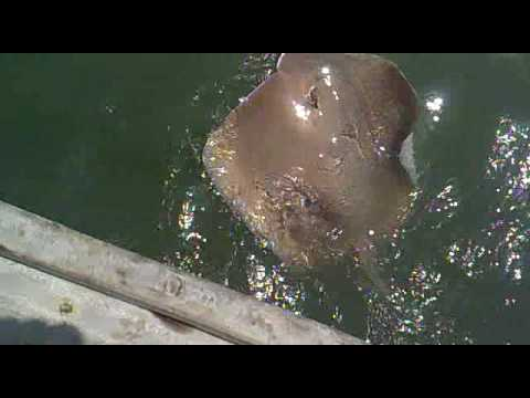 CATCH RAY SHARK IN KARACHI MANGROVES