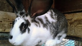 Types of rabbits breeds. Raising Checkered Giant Rabbit.
