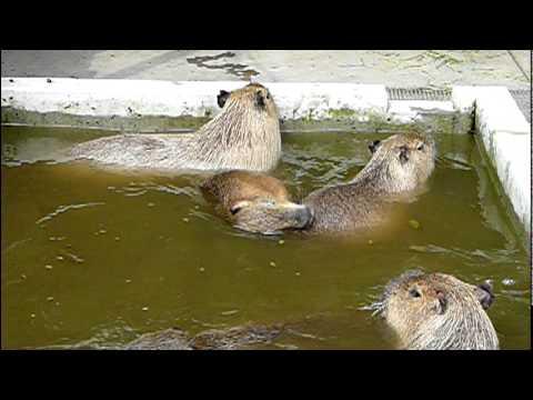 カピバラ一家の水遊び。Capybara family are swimming.#02