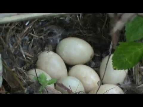 ловля диких гусей на крючок видео