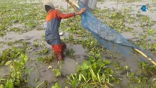 (Mixed Puti Fish Fishing) Today Fishing by south Asian Local village  people | Asian Village Life