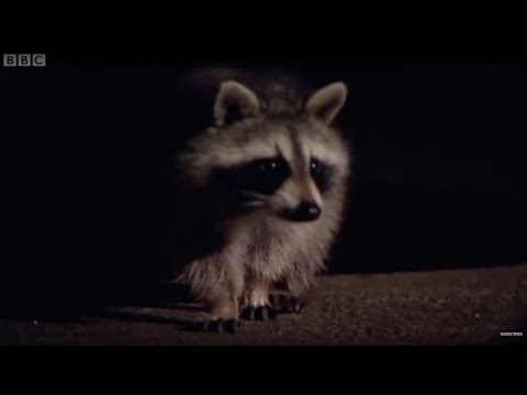 Raccoons - An American Success Story - Attenborough -  Life of Mammals - BBC