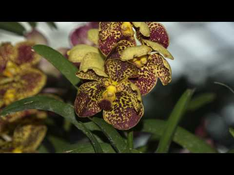 Orchid Extravaganza & Singapore Orchid Show 2016