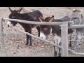 Donkey Helps Donkey Climb Fence | ABC News