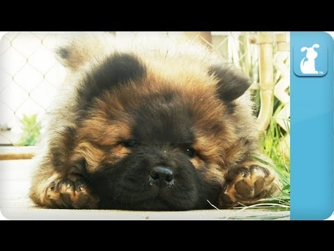 Chow Chow Puppy Falls Asleep - PuppyLove