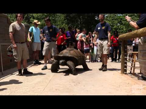 Al the Aldabra Giant Tortoise Walks to His New Home