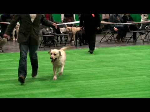 Boston Champ Show 2010 Labrador Dog CC Judging