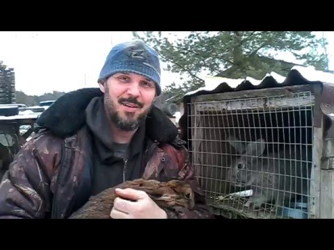 Определение охоты и случка кроликов