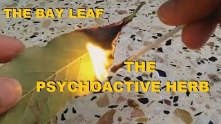 The SIMPLE BAY LEAF  - can HEAL you - PSYCHOACTIVE hERB