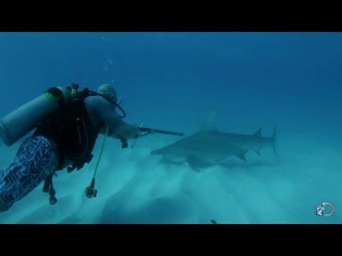 Taking Shark DNA Samples | Shark Week