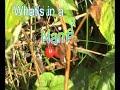 Solanum dulcamara, woody nightshade